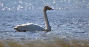 Singschwan – Langhälsiger Trompeter