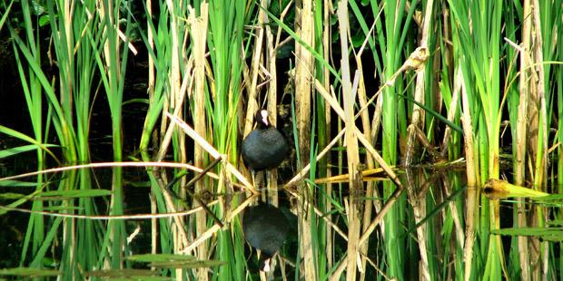 Wallnau – Paradies für Wasservögel