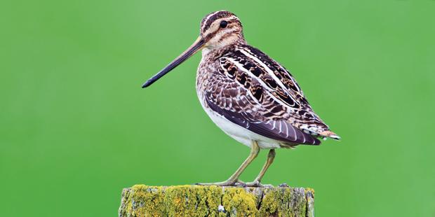 Vogel des Jahres 2013 – die Bekassine