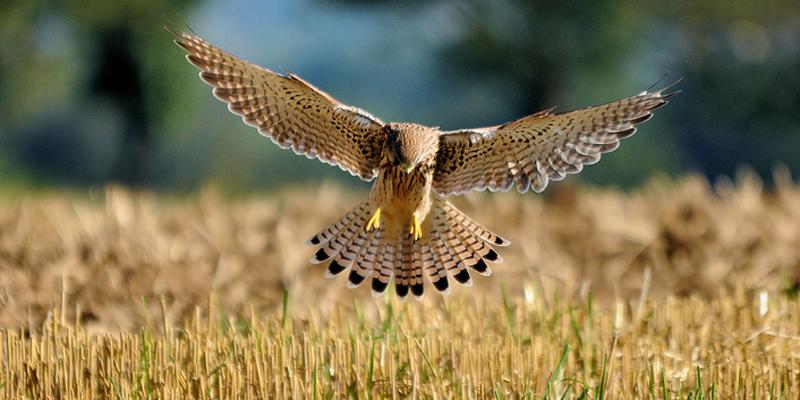 Turmfalke – ein Vogel mit vielen Namen