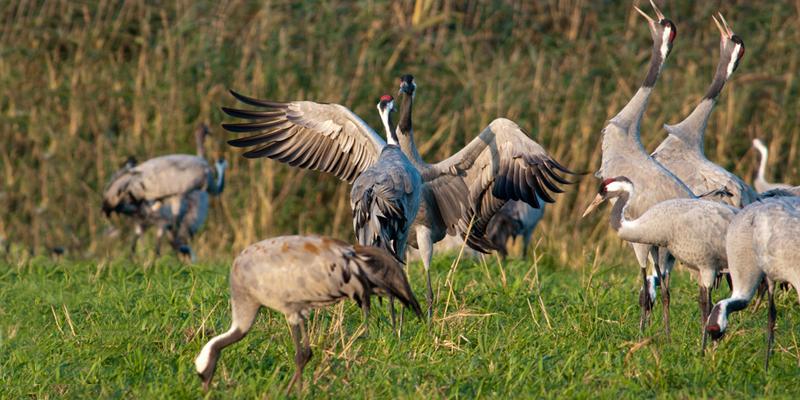 Balz – Highlight der Vogelbeobachtung