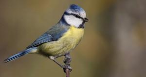 Blaumeise – lebhafter Singvogel