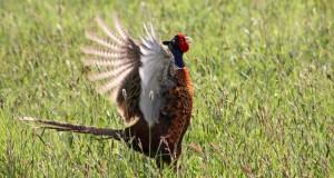 Fasan – Hühnervogel aus Mittelasien