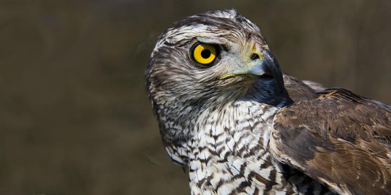 Habicht – Raubvogel und Hühnerjäger
