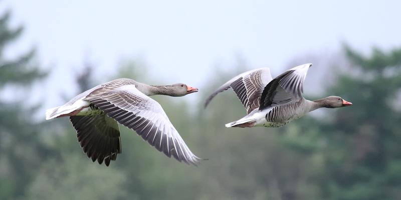 Graugans – Vom Zugvogel zum Standvogel
