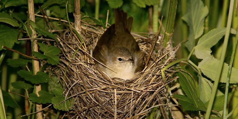 Brutverhalten heimischer Vögel