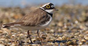 Flussregenpfeifer –  Watvogel an unseren Kiesgruben