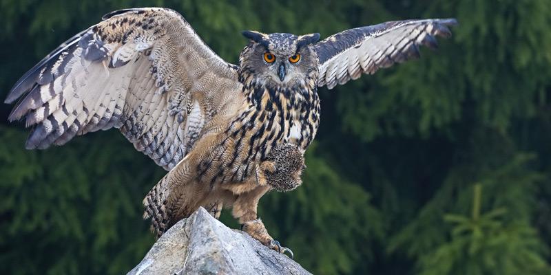 Uhu –Adlereule und König der Nacht