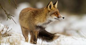 Fuchs – listiger Meister Reinecke