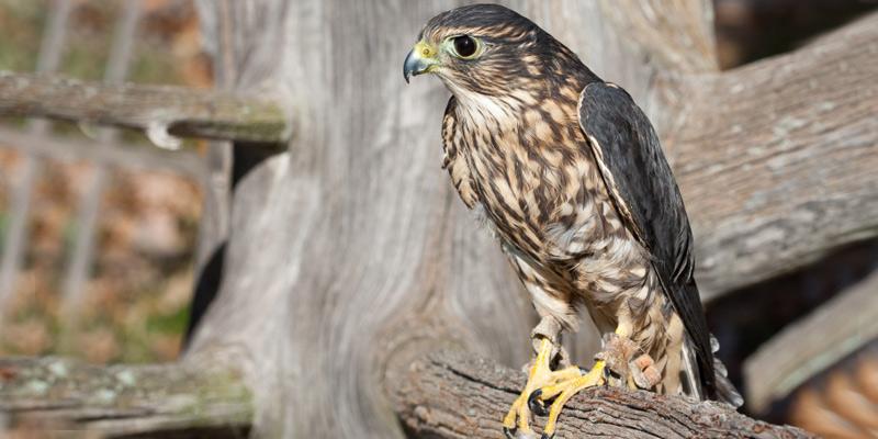 Merlin – der Zwerg unter den Falken