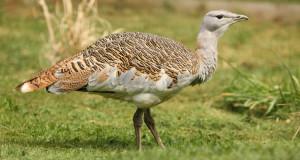 Großtrappe – großer Vogel, kleiner Bestand