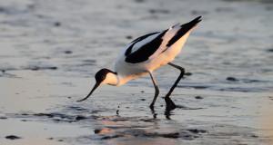 Säbelschnäbler – kontrastreicher Watvogel