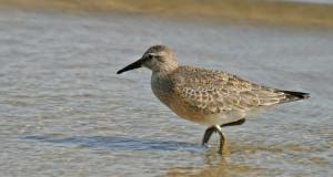 Knutt – Gast im Wattenmeer