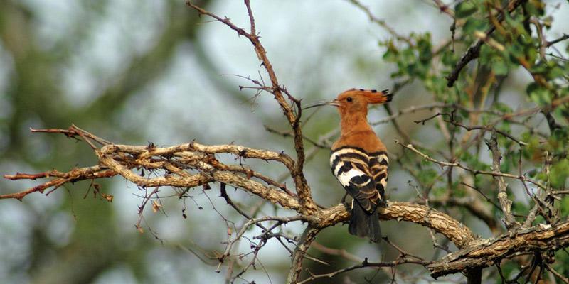 Wiedehopf – wärmeliebender Prachtvogel