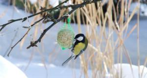 Kein Fell, kein Speck, kein Schlaf – wie kommen Vögel durch den Winter?