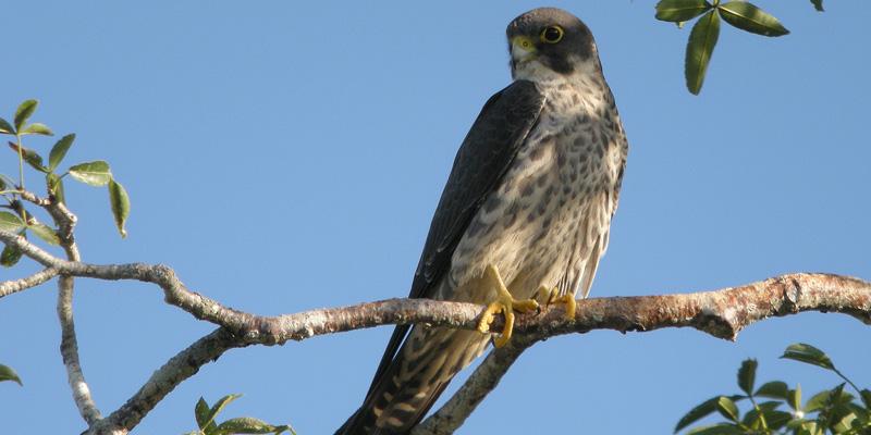 Falken auf Kollisionskurs – Krähenjagd aus der Vogelperspektive