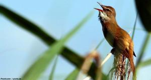 Vogelgezwitscher: Nicht nur Männchen trällern gerne