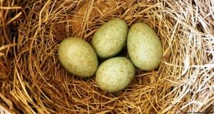 Brutparasiten – Schmarotzer im eigenen Nest