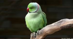 Halsbandsittich – Papagei auf Reisen