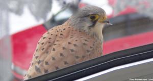 Vögel und Fenster – eine gefährliche Kombination