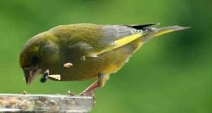 Der Grünfink – Dauergast im Garten