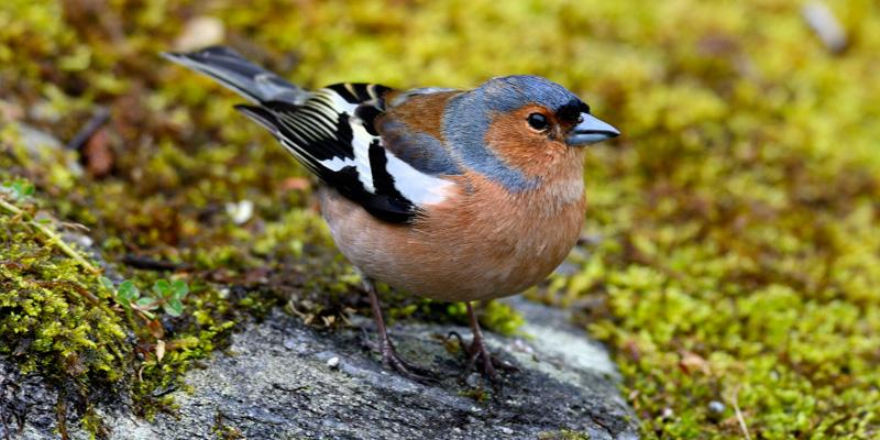 Buchfink – Bunter Schmuckfink