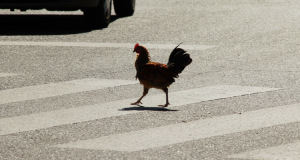 Kuriose Vogelwelt #4: Straßenverkehr verursacht Evolution der Vögel