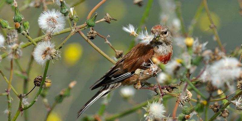 Bluthänfling – Geflügelter Unkrautjäter