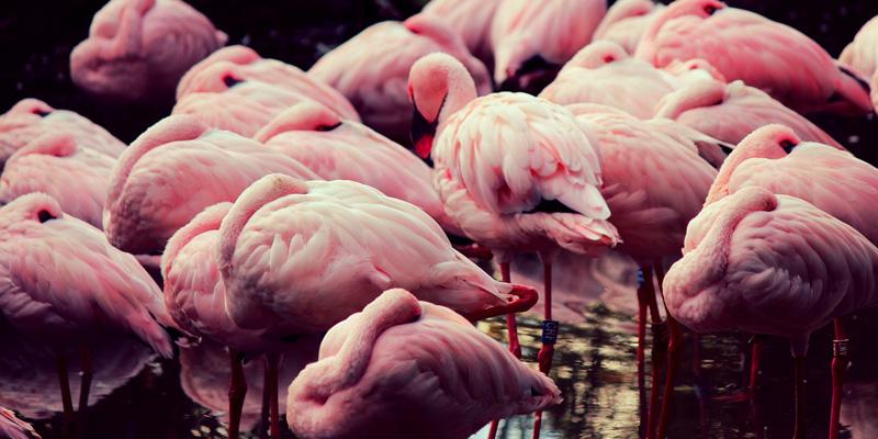 Flamingos im Zwillbrocker Venn – Die Natur kennt keine Grenzen