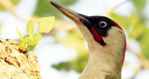 Vogel des Jahres 2014 – Der Grünspecht