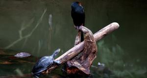 Die schleichende Gefahr – Schildkröten bedrohen Wasservögel