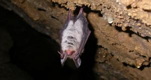 Die Fledermäuse der Segeberger Kalkberghöhle: Im Reich der lautlosen Schatten