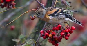 Bergfink – Skandinavischer Schwarmvogel