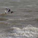 Vogelbeobachtung auf Sylt: Austernfischer