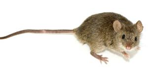 Kuriose Tierwelt: Mäuse singen wie Vögel