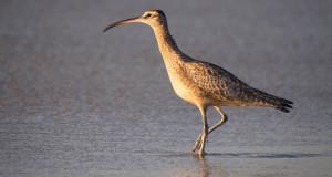 Regenbrachvogel – Seltener Gast des Nordens