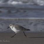 Vogelbeobachtung auf Sylt: Sanderling