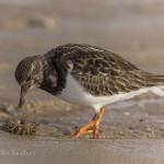 Steinwälzer Vogelart auf Sylt