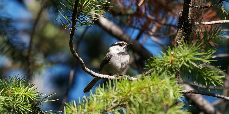 Kuriose Vogelwelt #8: Mit Dialekt singen