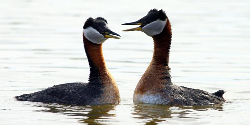 Rothalstaucher – hübscher Wasserliebhaber