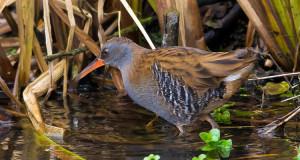 Wasserralle – Heimliche Sumpfbrüterin