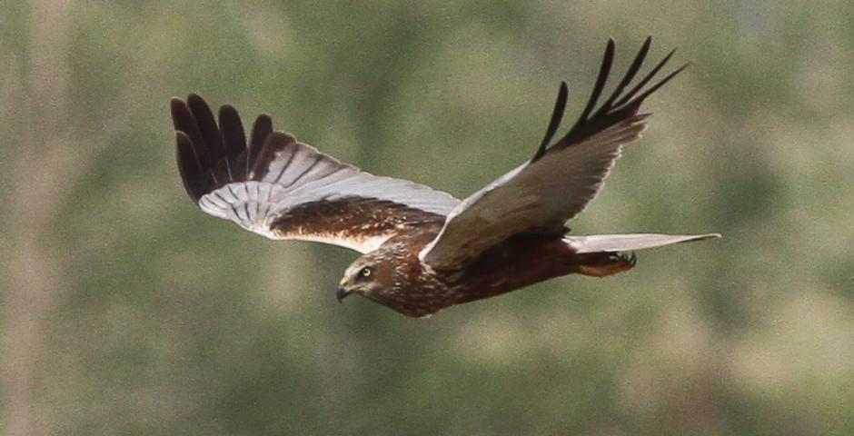 Rohrweihe – Der etwas andere Circus-Vogel