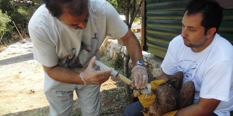 Greifvogelschutz in Kroatien
