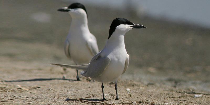 Lachseeschwalbe – eleganter Problemvogel