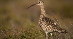 Großer Brachvogel –Watvogel in Gefahr