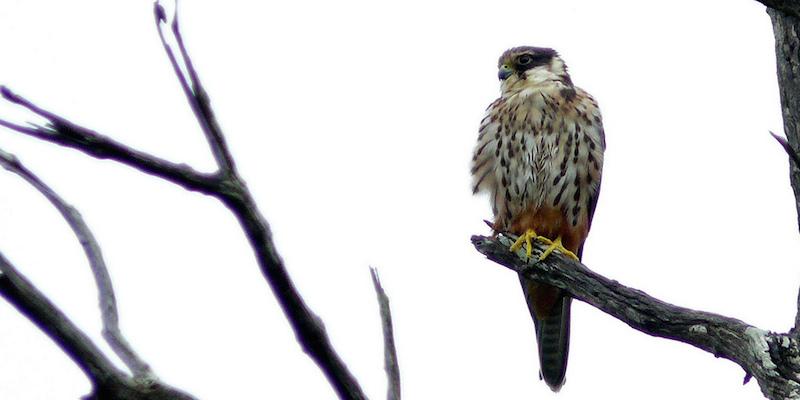 Baumfalke – Flugkünstler mit Hose