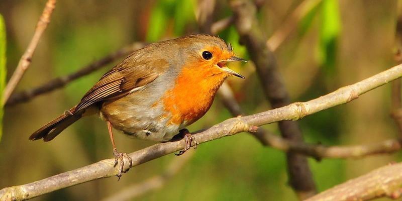 Geheime Gesänge – Vogelstimmen und ihre Bedeutung