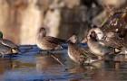 Schnabel, Augen, Federn: Enten unterscheiden