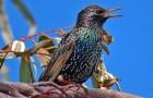 Sing meinen Song – Warum imitieren Vögel andere Arten?