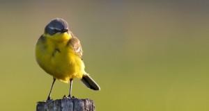 Schafstelze – Wiesenvogel in Gelb und Grün